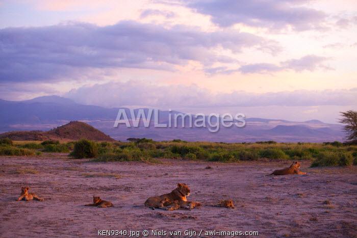 Kenya, Amboseli National Park. A pride of lion at dusk.