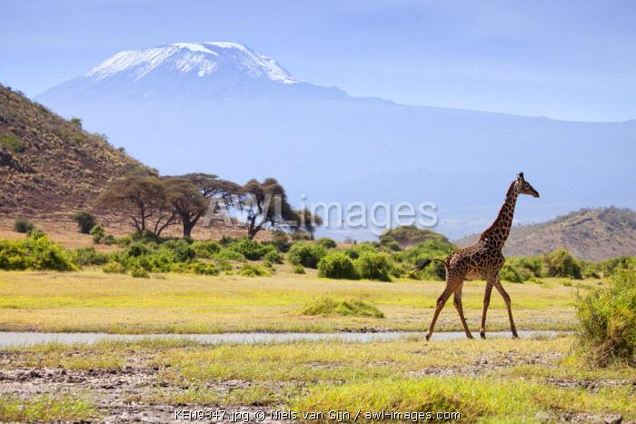 Kenya, Amboseli National Park. A giraffe ambling across, with Mount Kilimanjaro in the background.