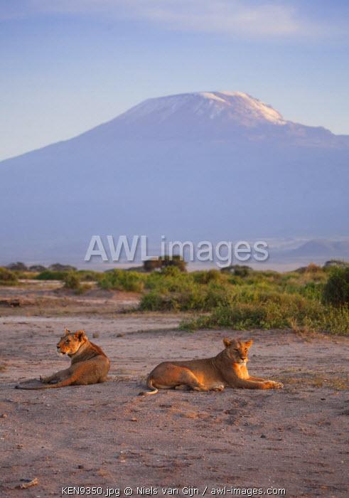 Kenya, Amboseli National Park. Lioness relaxing in front of Mount Kilimanjaro.