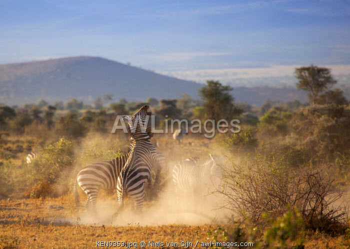 Kenya, Amboseli National Park. Fighting zebra.