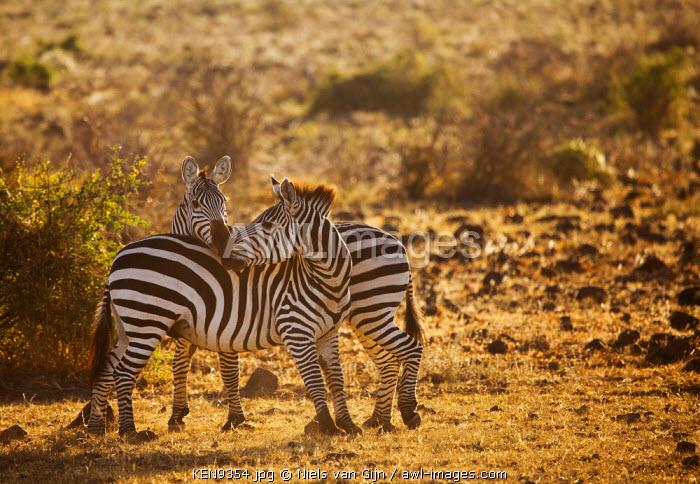 Kenya, Amboseli National Park. Nuzzling zebra.