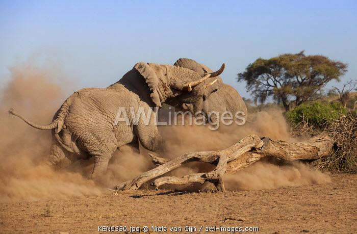 Kenya, Amboseli National Park. Large bull elephants fight for dominance.