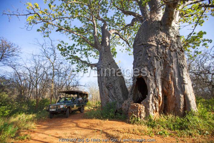 Kenya, Meru National Park. Exploring a massive Baobab in Meru National Park.