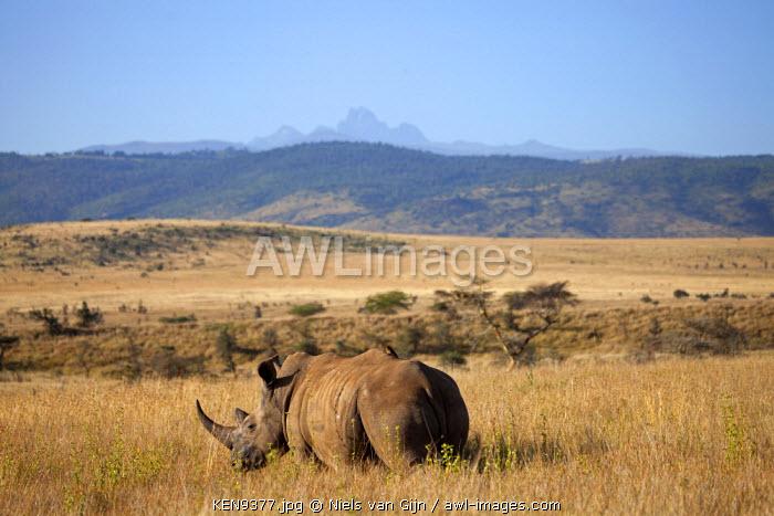 Kenya, Lewa Conservancy. A white rhino grazes, with Mount Kenya in the distance.