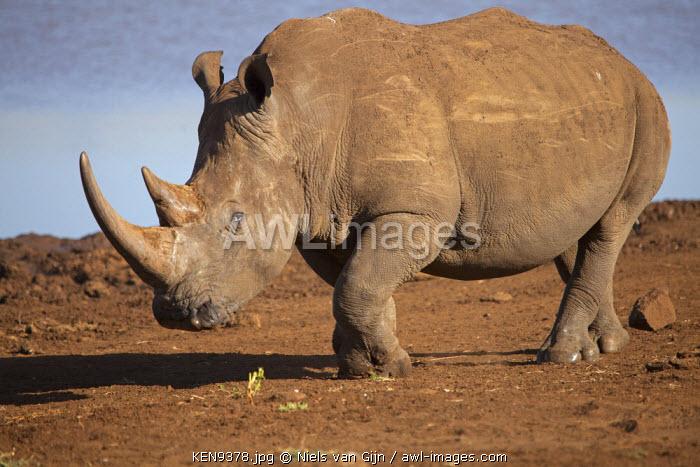 Kenya, Lewa Conservancy. A lumbering white rhino.