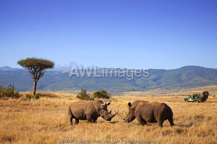 Kenya, Lewa Conservancy. Sparring white rhino, with tourists viewing.