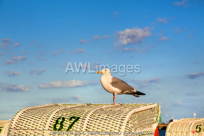 Seagull on beachbasket, Grömitz, Baltic coast, Schleswig-Holstein, Germany