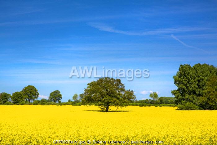 Rape field, Baltic coast, Schleswig-Holstein, Germany