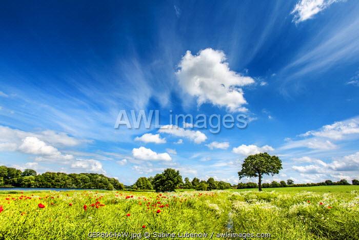 Flowers on a field, Plön, Holsteinische Schweiz, Baltic coast, Schleswig-Holstein, Germany