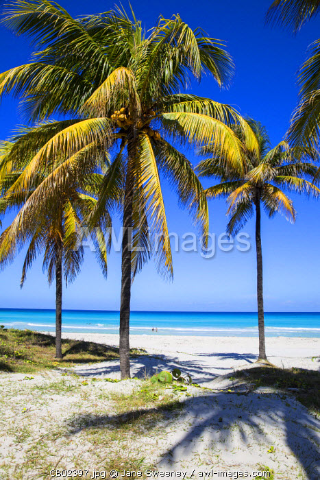 Cuba, Varadero, Palm trees on Varadero beach