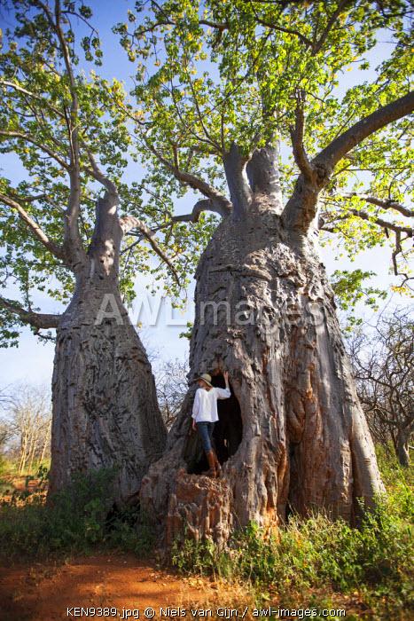 Kenya, Meru National Park. Exploring a massive Baobab in Meru National Park. MR.
