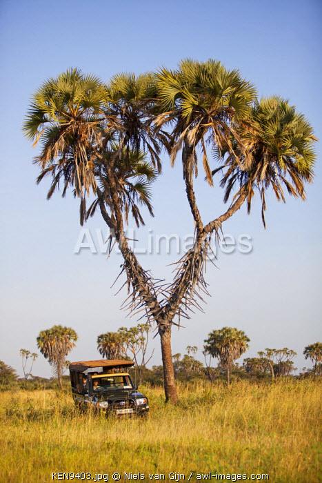Kenya, Meru National Park. A safari vehicle drives around a distinctive Doum Palm.