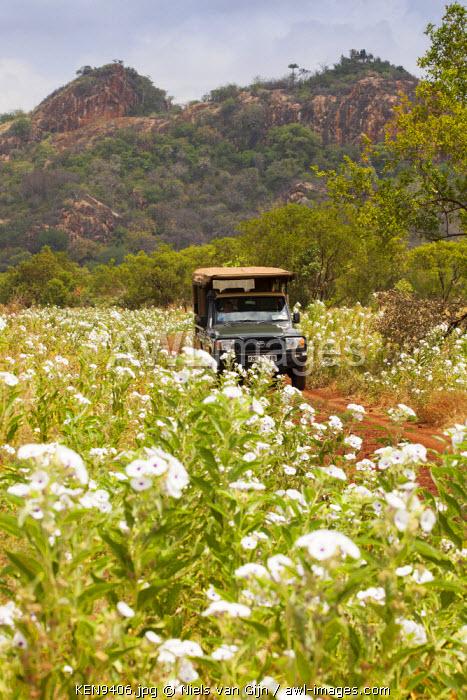 Kenya, Meru National Park. Driving through the spring flowers in Meru.