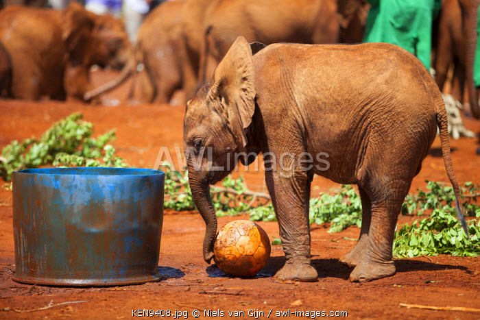 Kenya, Nairobi, Daphne Sheldrock Orphanage. A young elephant plays with a ball.