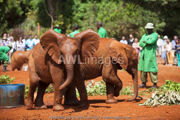 Kenya, Nairobi, Daphne Sheldrock Orphanage. Young orphaned elephants under the watchful gaze of their keepers.