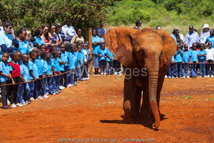 Kenya, Nairobi, Daphne Sheldrock Orphanage. An adolescent elephant enthralls local school children on a day trip.