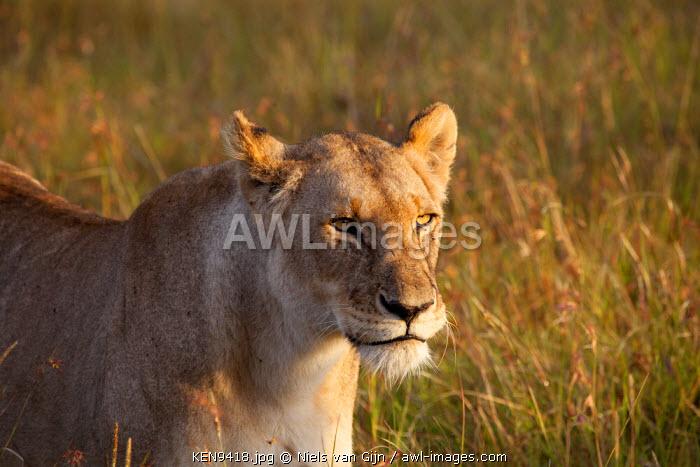 Kenya, Mara North Conservancy. Lioness.