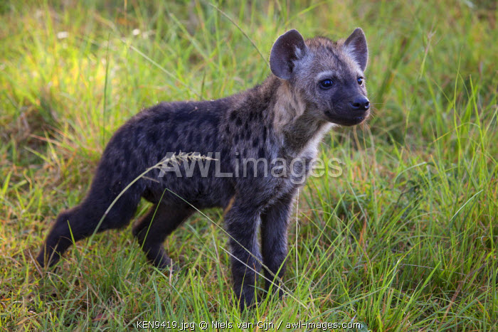 Kenya, Mara North Conservancy. A curious young spotted hyena.