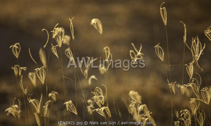 Kenya, Meru. Dry grasses in the evening light.