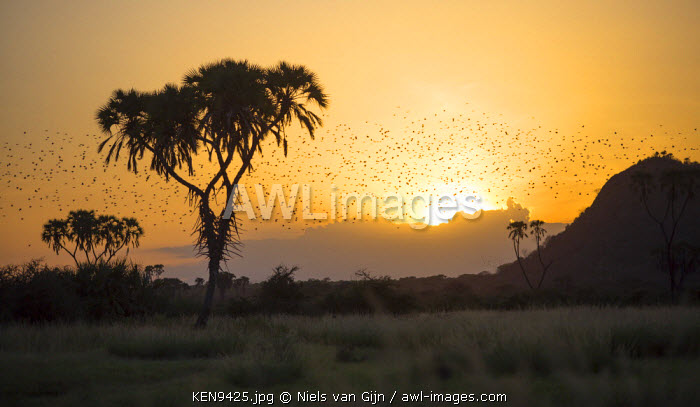 Kenya, Meru. Swarms of quelea flock to roost at sunset.