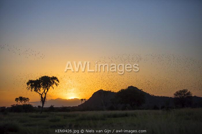 Kenya, Meru. Swarms of quelea flock to roost at sunset.