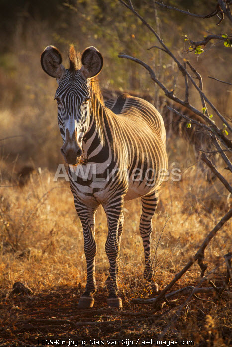 Kenya, Meru. A rare Grevy's zebra in the evening light in Meru National Park.