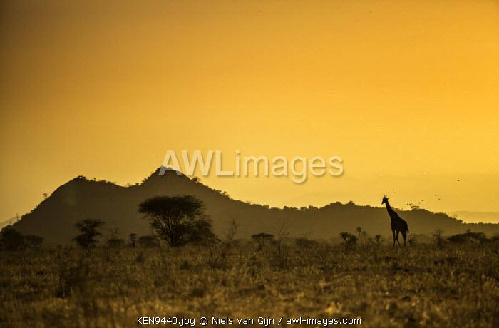 Kenya, Meru. A giraffe wanders across the savannah in the evening light.