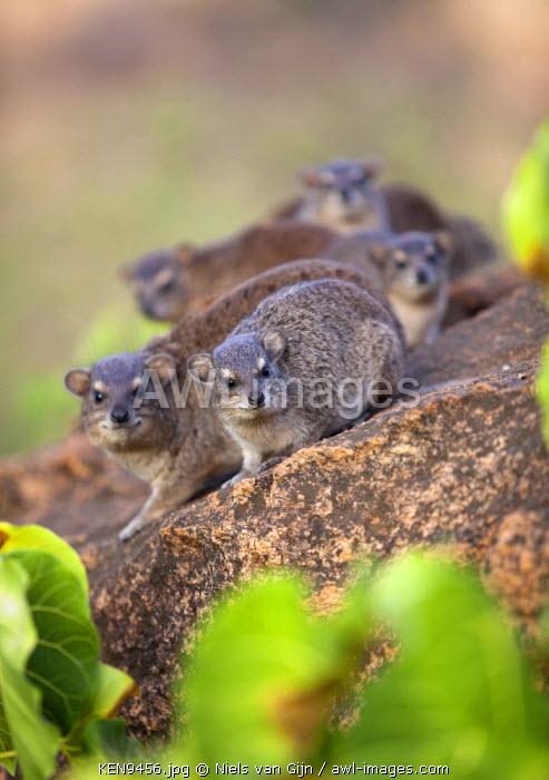 Kenya, Meru. A group of Rock Hyrax, also known as Rock Dassies.