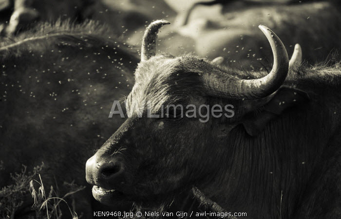 Kenya, Mara North Conservancy. A buffalo cow chewing the cud, surrounded by flies.