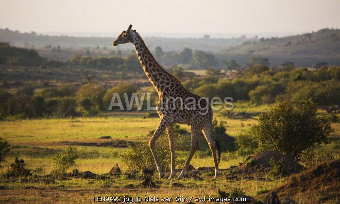 Kenya, Mara North Conservancy. A Maasai giraffe wanders slowly through the Mara.