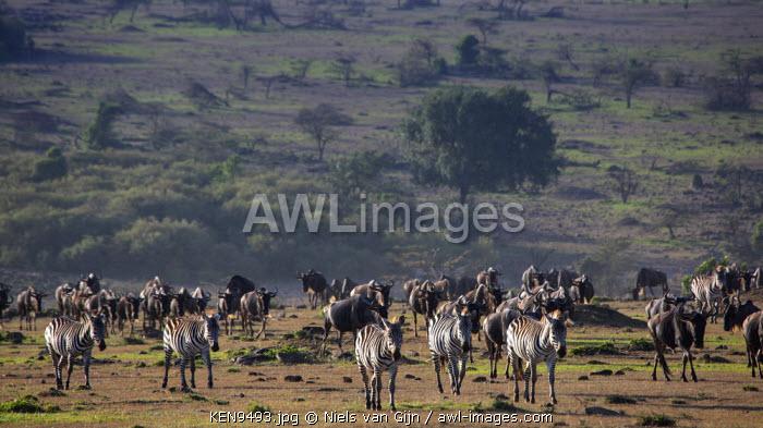Kenya, Mara North Conservancy. Herds of zebra and wildebeest make their way across the savannah.