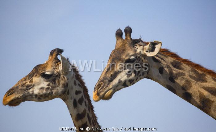 Kenya, Mara North Conservancy. A pair of giraffe.