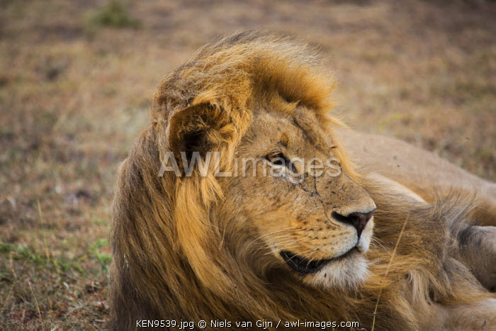 Kenya, Mara North Conservancy. A large male lion with the wind in his hair.