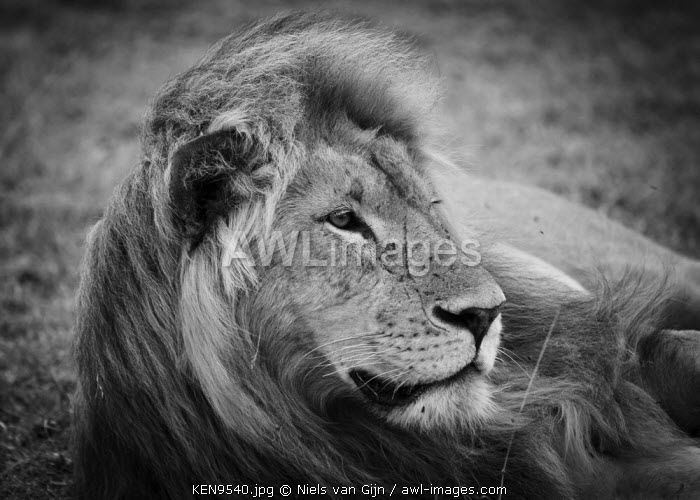 awl-images.com - Kenya / Kenya, Mara North Conservancy. A large male lion with the wind in his hair.