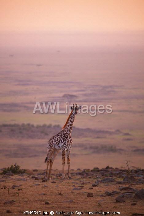 Kenya, Mara North Conservancy. A young giraffe with the never ending plains of the Maasai Mara behind.