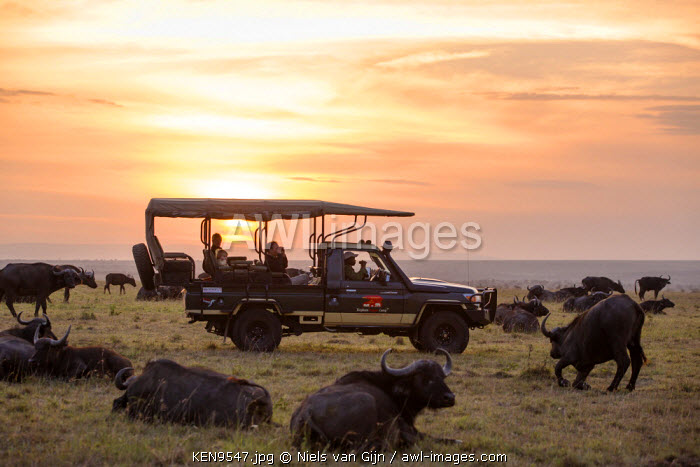 Kenya, Mara North Conservancy. An early morning game drive through a large herd of buffalo.