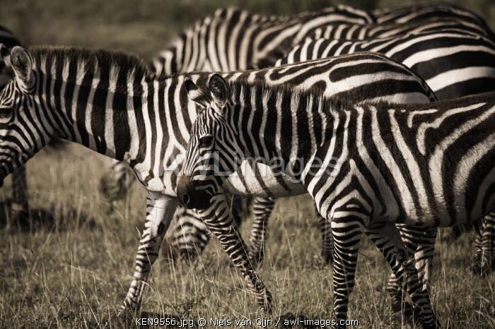 Kenya, Mara North Conservancy. A herd of plains zebra calmly walking through the Mara.