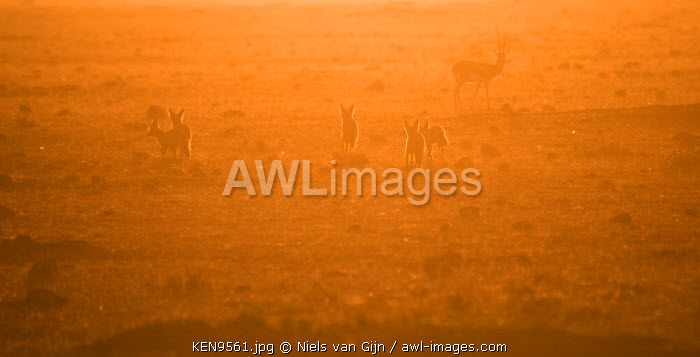 Kenya, Mara North Conservancy. Bat-eared Foxes in the early morning light.