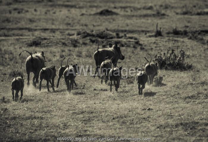 Kenya, Mara North Conservancy. A large family of running warthogs.