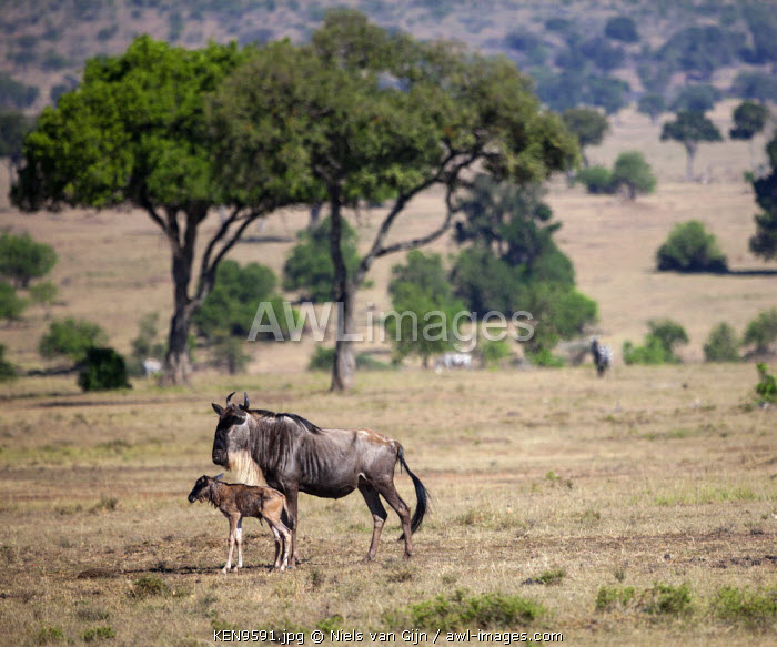 Kenya, Mara North Conservancy. An hour-old wildebeest calf stands unsteadily by her mother.