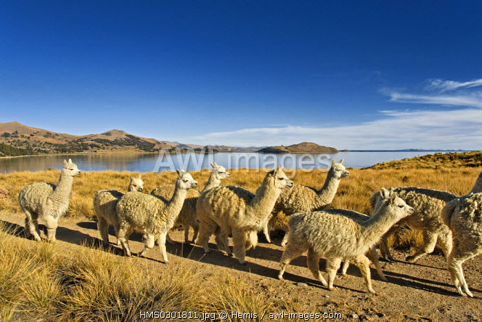 Peru, Puno Province, lake Titicaca, island of Suasi, 4 000 m high, the Camelids breeding, allows the reintroduction of llama and Vicu�a which had been slaughtered during the Conquista