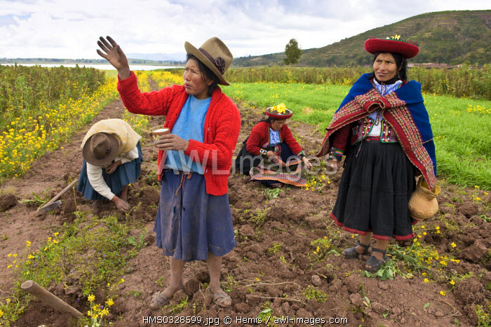 Peru, Cuzco Province, Incas sacred valley, Chinchero, Quechua Indian weavers from the Awana Wasi community offering to Pachamama Goddess (the Mother Earth) in a potato field
