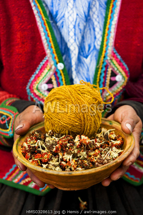 Peru, Cuzco Province, Incas sacred valley, Chinchero, Quechua Indian weavers from the Awana Wasi community, ball of llama wool and the Inca's flower to dye