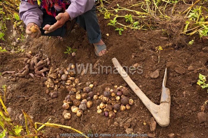 Peru, Cuzco Province, Incas sacred valley, Pisac, Parque de la Papa (Potato Park) managed by an autonomous community of Quechua Indians, harvest of potatoes varieties