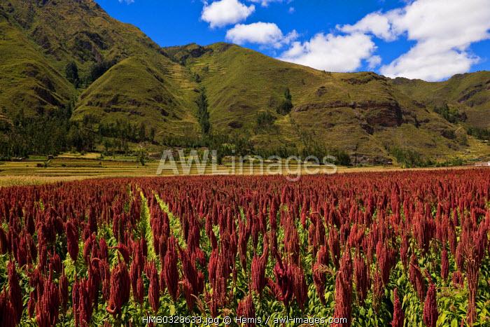 Peru, Cuzco Province, Incas sacred valley, quinoa field, the Inca's cereal
