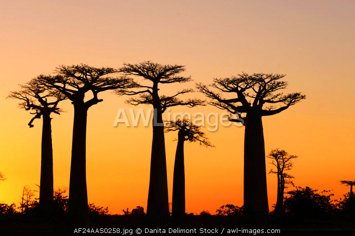 Madagascar, Morondava, Baobab Alley, view on Adansonia Grandidieri at sunset