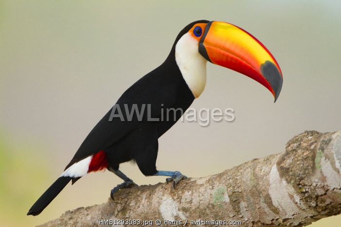 Brazil, Mato Grosso, Pantanal area, listed as World Heritage by UNESCO, toco toucan (Ramphastos toco)