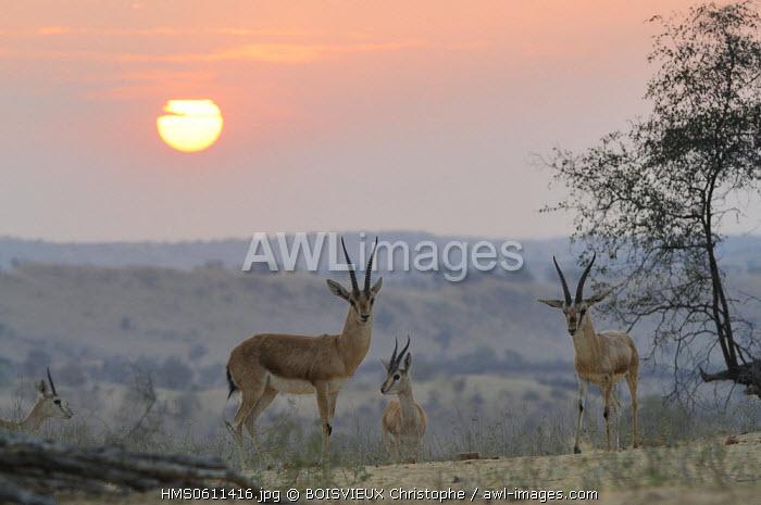 India, Rajasthan state, Mukam surroundings, Samrathal dune, Chinkaras (Indian gazelles) at sunset