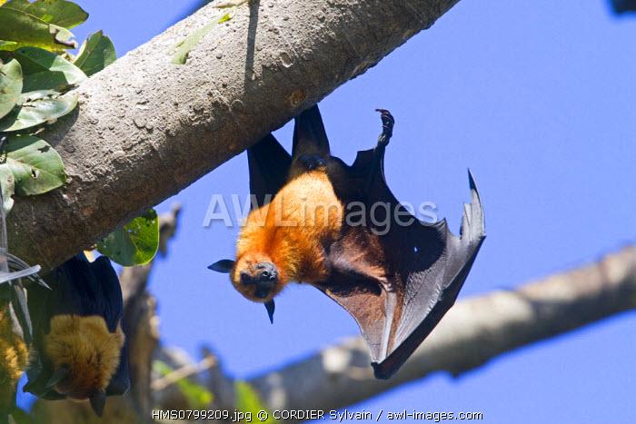 India, State of Gujarat, Junagadh, Indian Flying-fox (Pteropus giganteus)