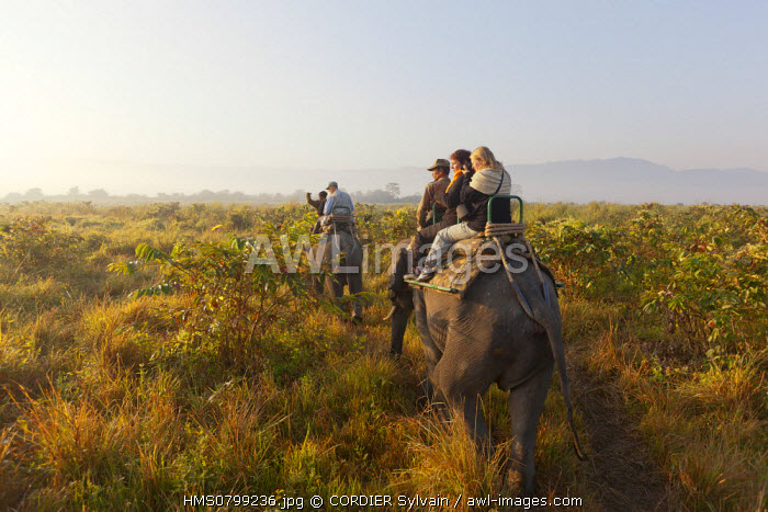 India, State of Assam, Kaziranga National Park, listed as World Heritage by UNESCO, Asian Elephant (Elephas maximus), safari